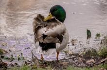 pic of a duck