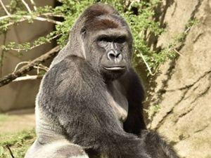 636000938514742797-cincinnati-gorilla