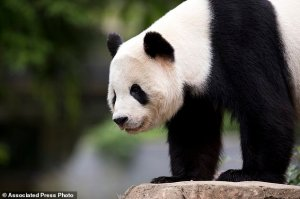 Panda Goodbye