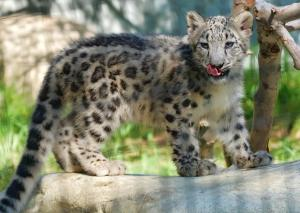 asia-snow-leopards-53818-jpg.